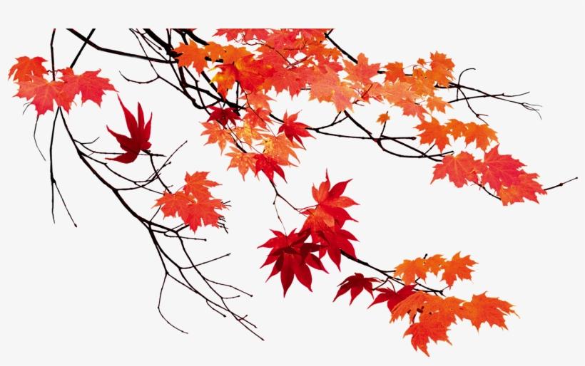 Transparent Canadian Maple Tree Clipart - Maple Leaf Vector Outline, HD Png  Download , Transparent Png Image - PNGitem