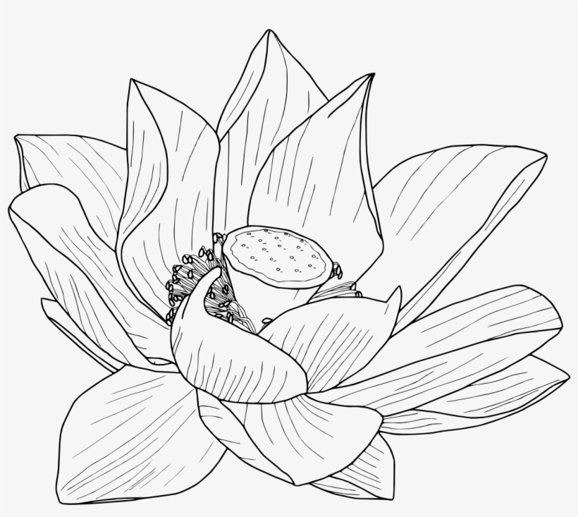 How To Draw Lotus Flower Transparent Free Download Oasis Dl Co