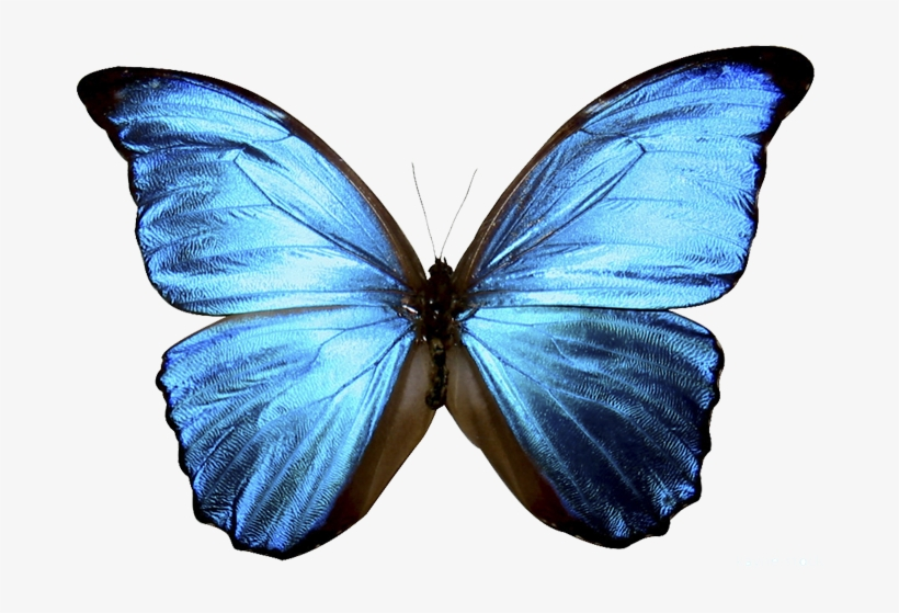 Borboletas Tumblr Png Blue Butterfly Transparent Background