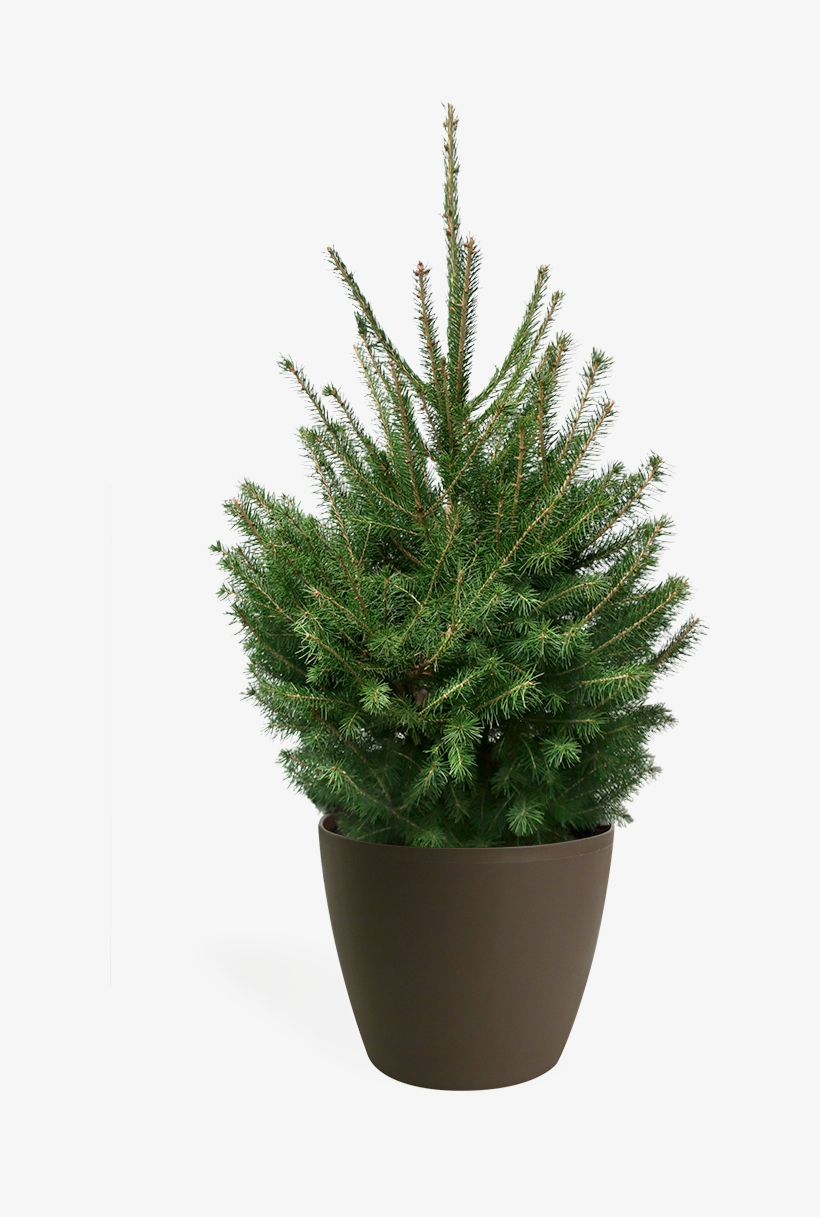 wholesale dealer 35bed 30c9c 3' Living Norway Spruce Christmas Tree - Tesco Real ...