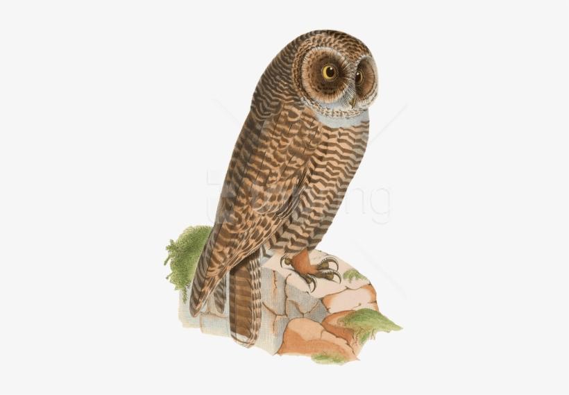 Free Png Download Owl Resting On Rock Drawing Png Images Kolase
