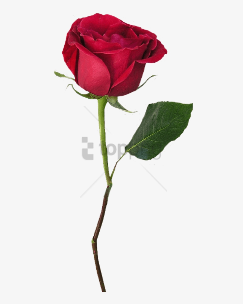 Free Png Rose With Stem Png Image With Transparent Beauty And The Beast Single Rose Transparent Png 480x944 Free Download On Nicepng