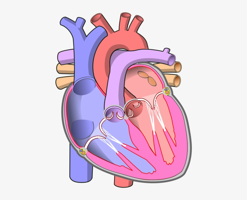 Diagram Of The Human Heart - Human Heart Without Labels ...