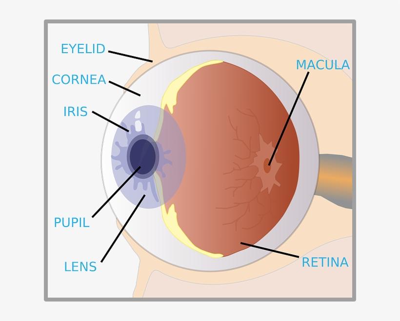diagram of eye for kids the eye diagram for kids nurse label of an