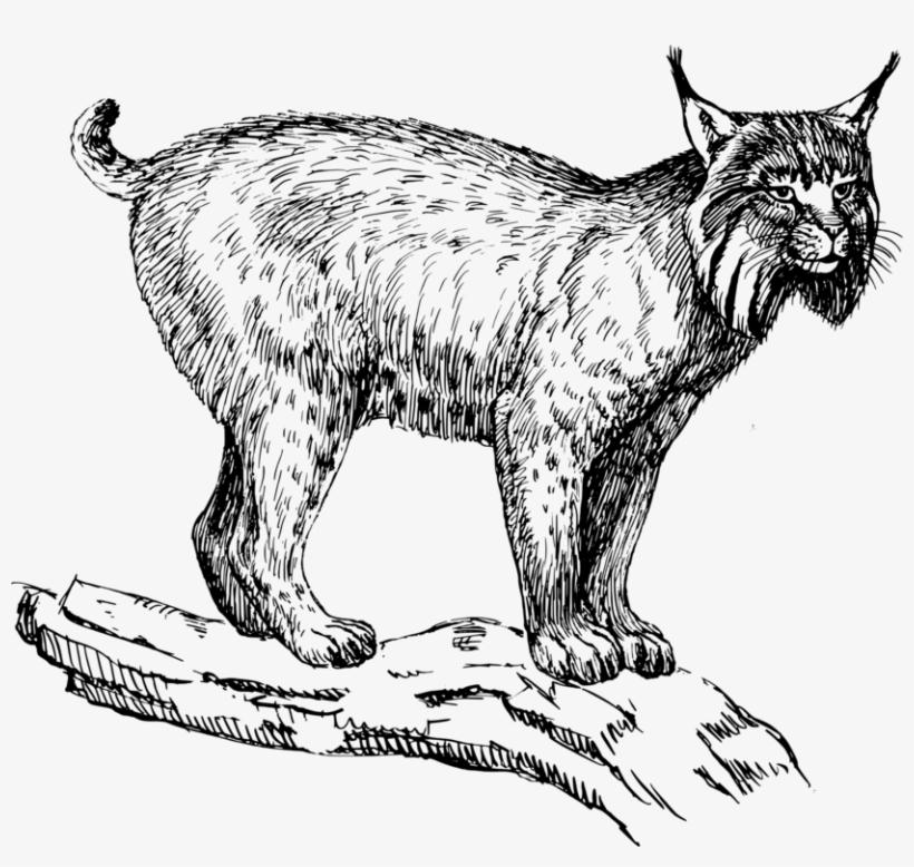 Eurasian Lynx Wildcat Felidae Drawing Bobcat