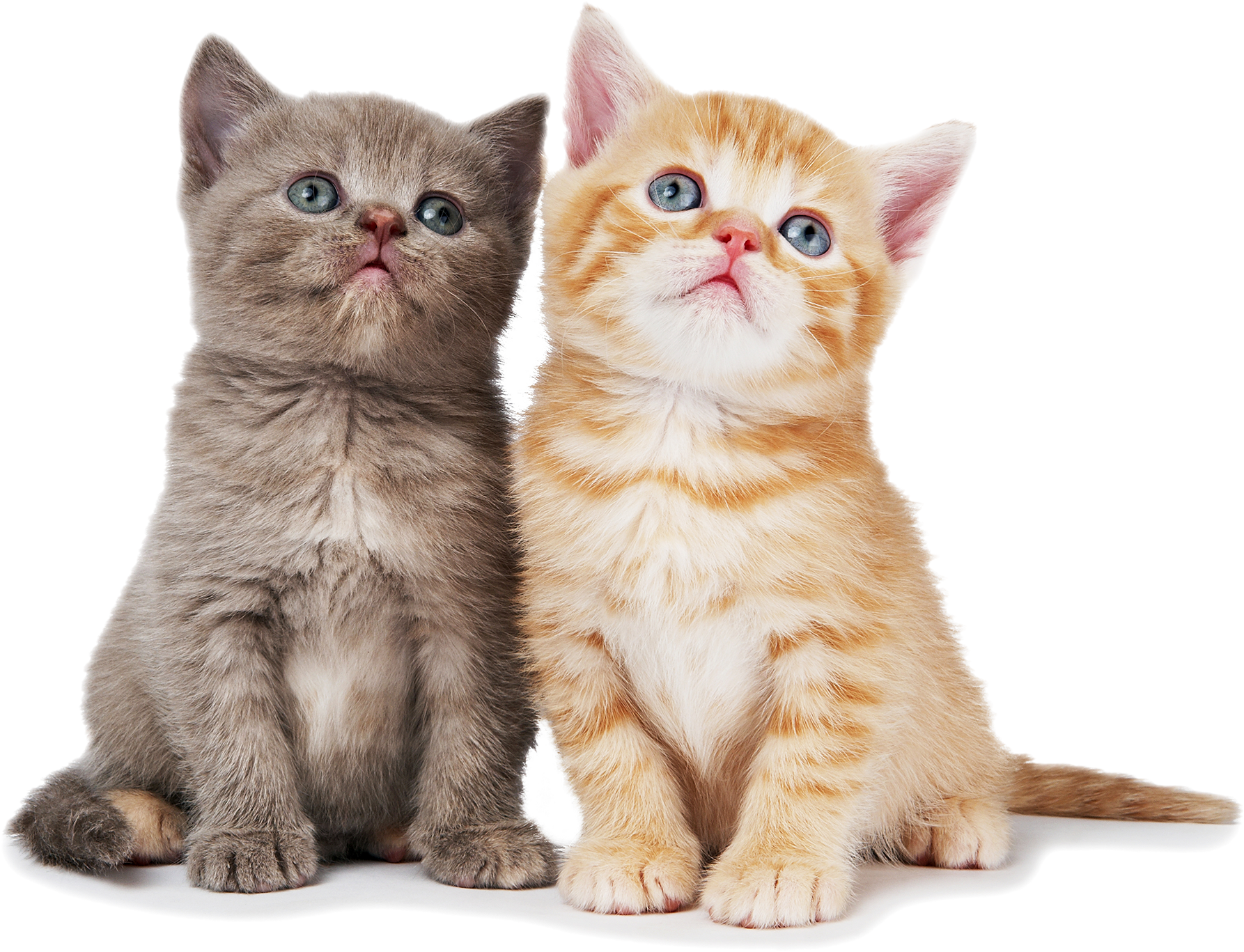 Download Hd Cat Png Pic American Shorthair Persian Cat Transparent Png Image Nicepng Com