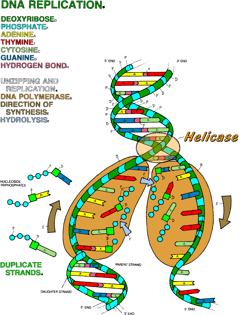 Dna The Double Helix Coloring Worksheet Replication Answer Key 850x1100