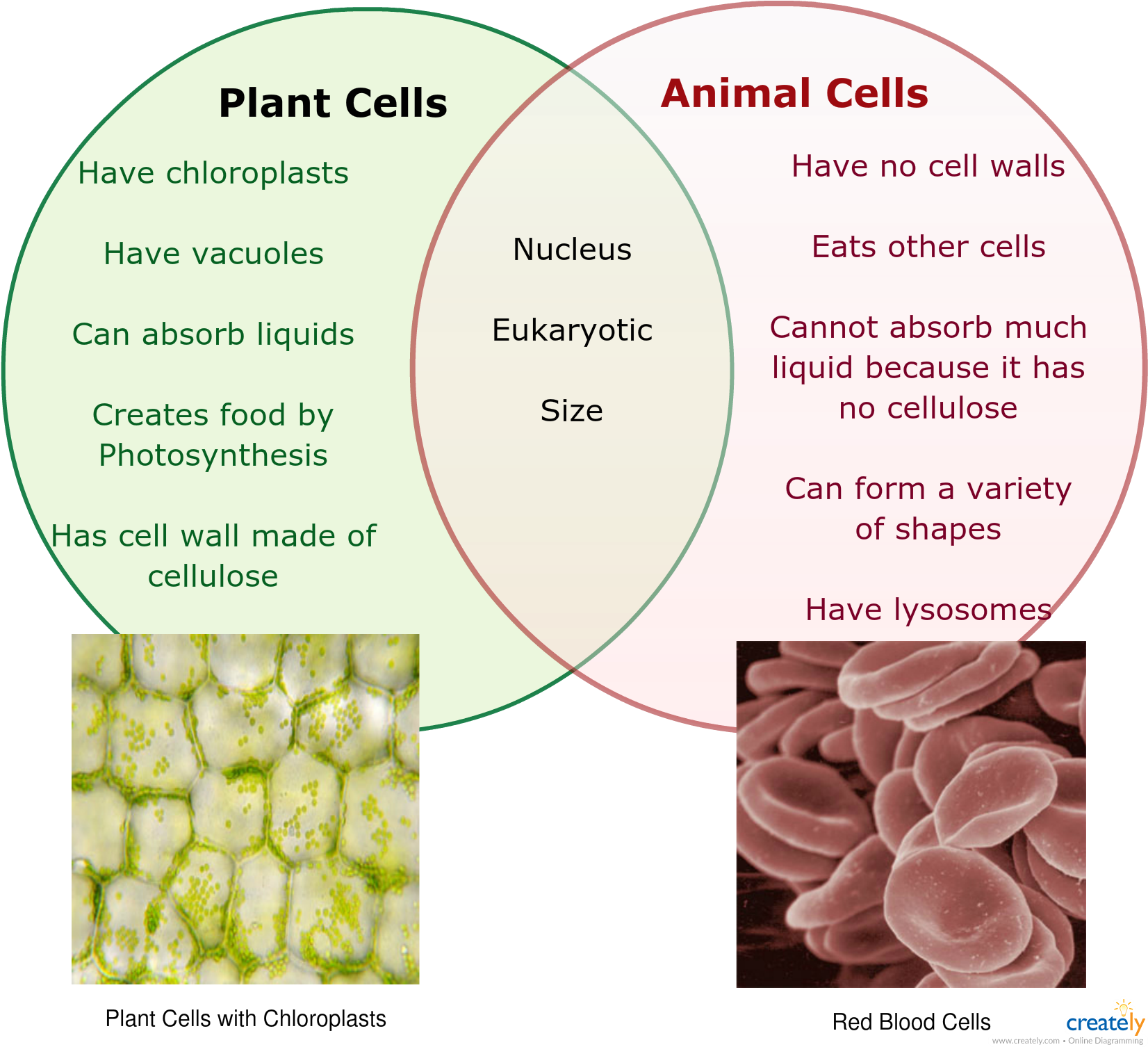 Download Hd Plant Vs Animal Cells Venn Diagram Labeled Diagram Of
