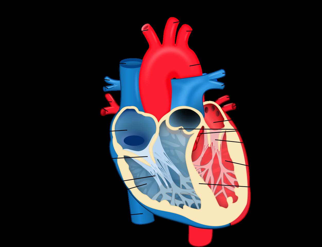 Download HD File - Heart Diagram-en - Svg - Oxygenated ...