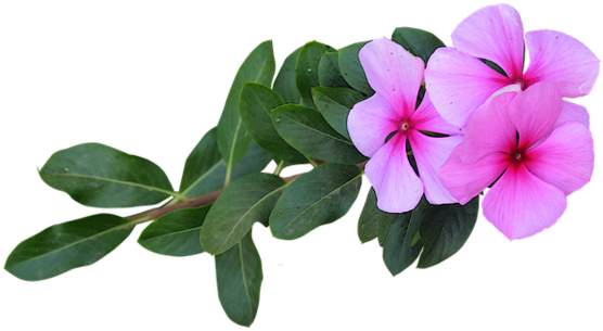 Fiori Png.Download Hd Immagine Png Fiori Rosa Fiori Fiori Png Transparent