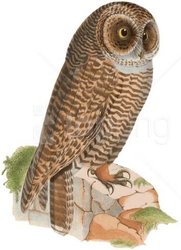 Download Hd Free Png Download Owl Resting On Rock Drawing Png